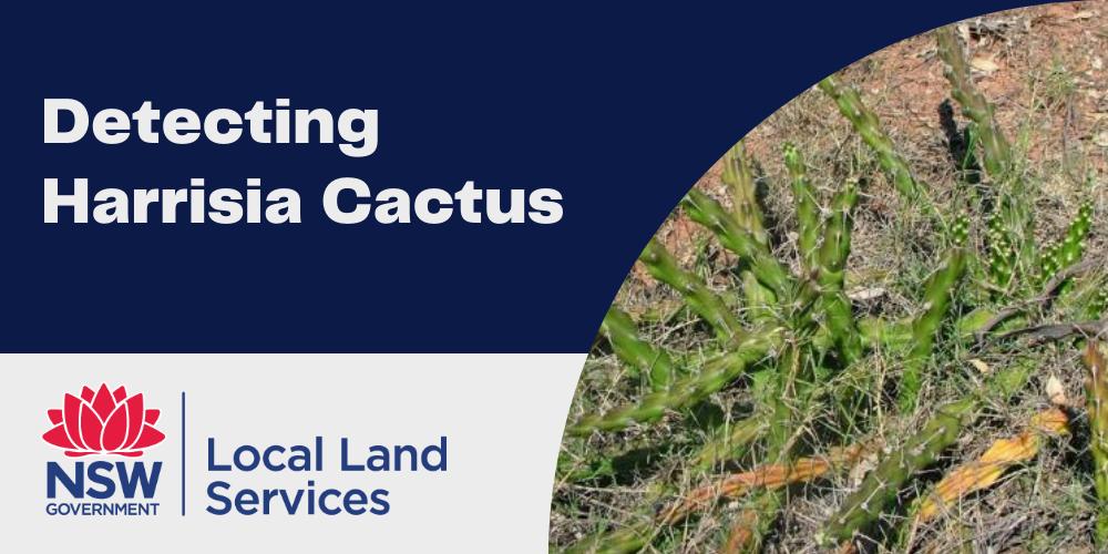 Targeting Harrisia Cactus