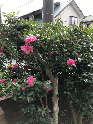山茶花(さざんか)