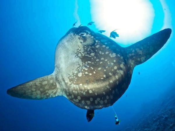 Plonger avec le poisson-lune Mola Mola