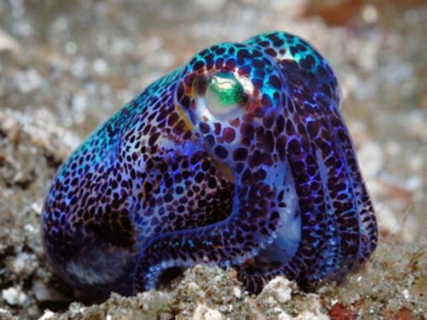 Bobtail squid ou sepiola