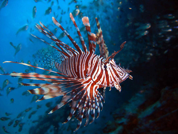 Lion Fish ou Rascasse volante, Crystal Bay