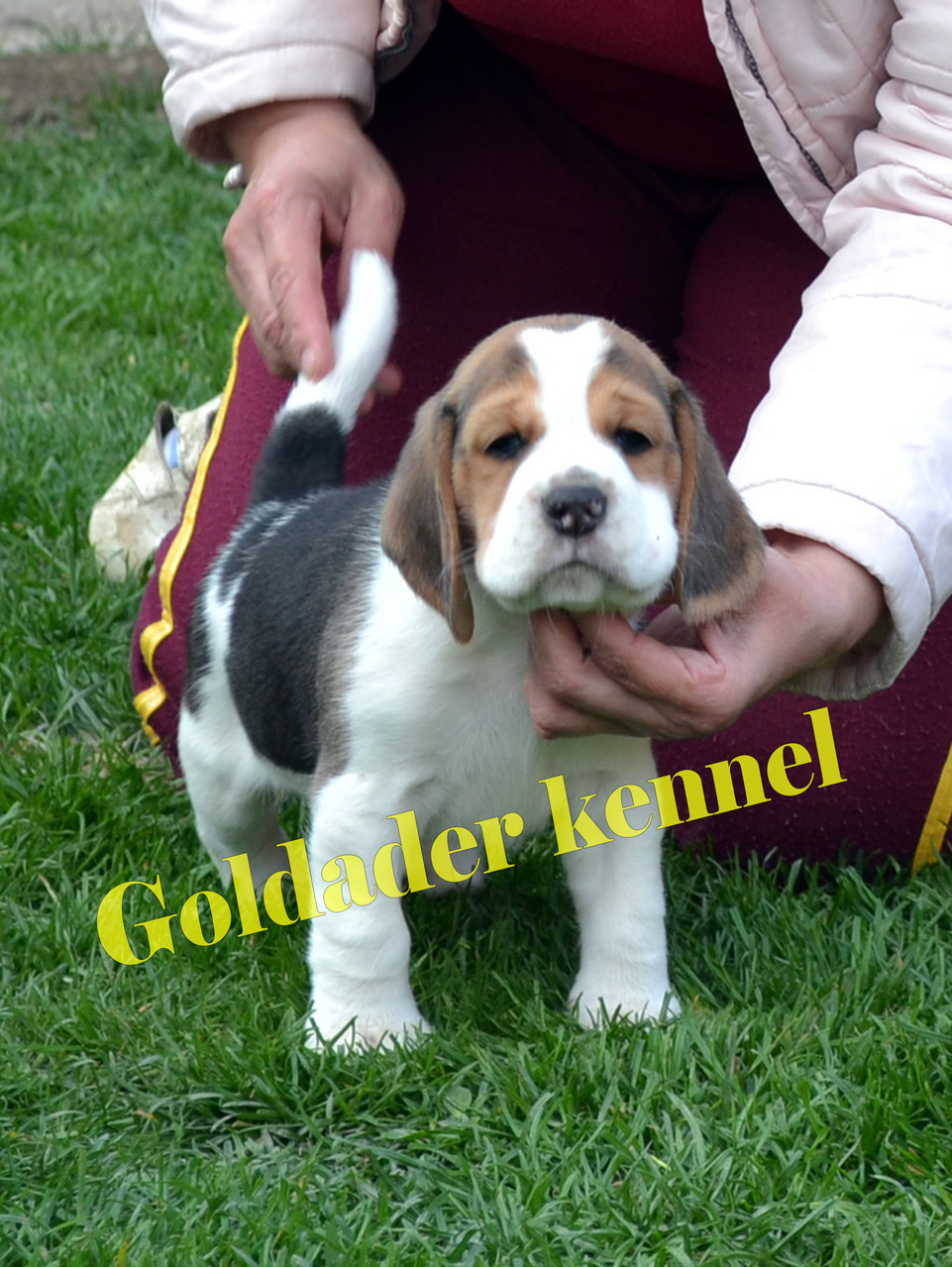 Goldader Vortex Del Mar, 38 days old