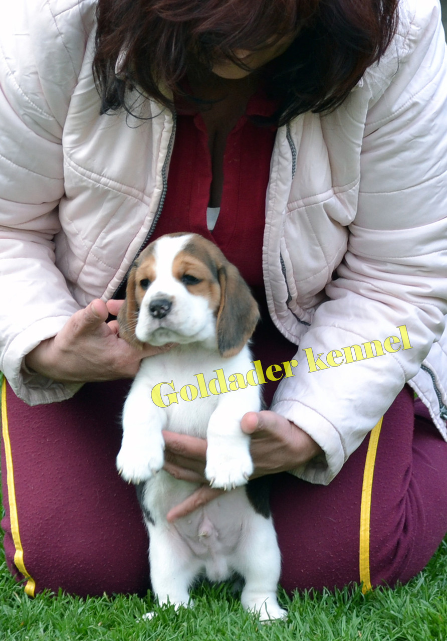 Goldader Vortex Del Mar, 38 days old