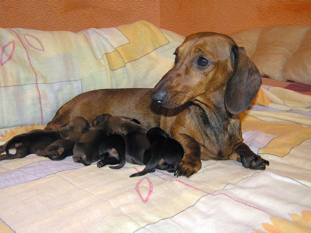 Goldader Kurazhnaja Kapelyka and puppies (3 days)