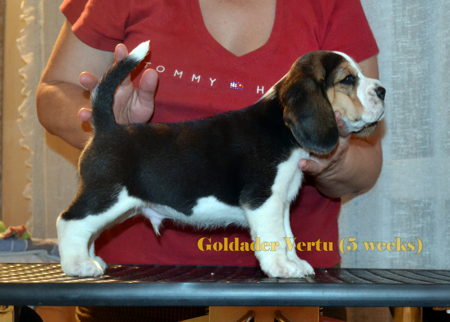 Goldader Vertu, 5weeks old,bigl