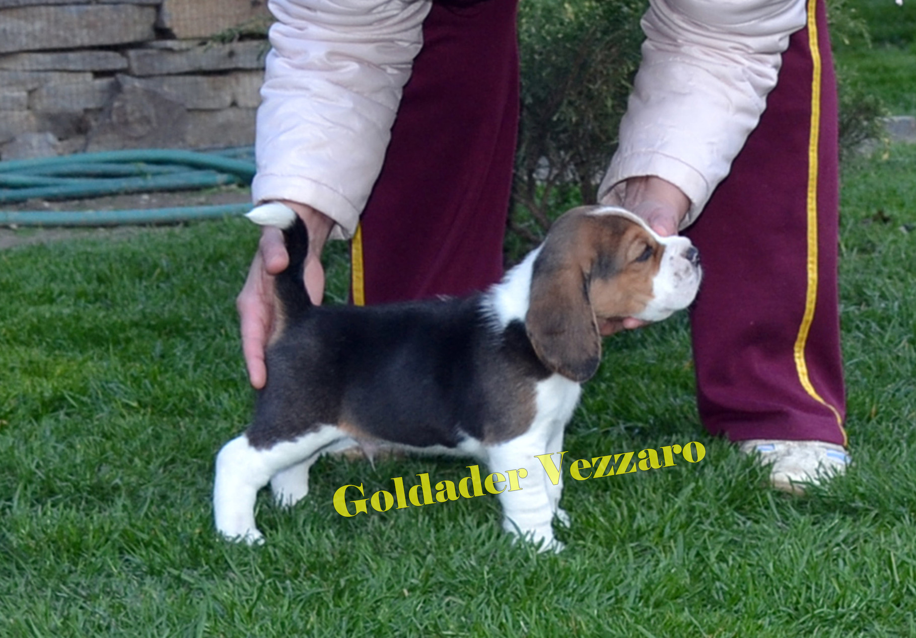 Goldader Vezzaro, 38 days old