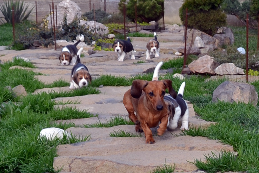 goldader (beagle & dachshunds)