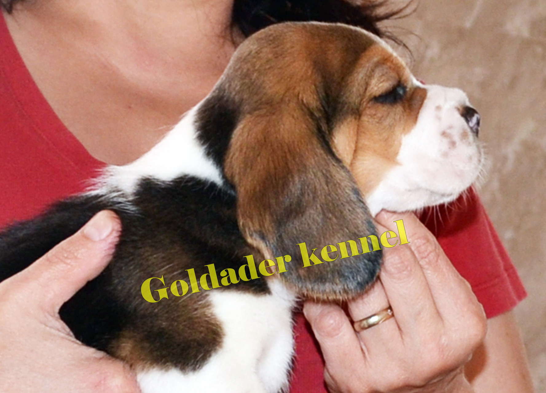 Goldader Vezzaro, 35 days old
