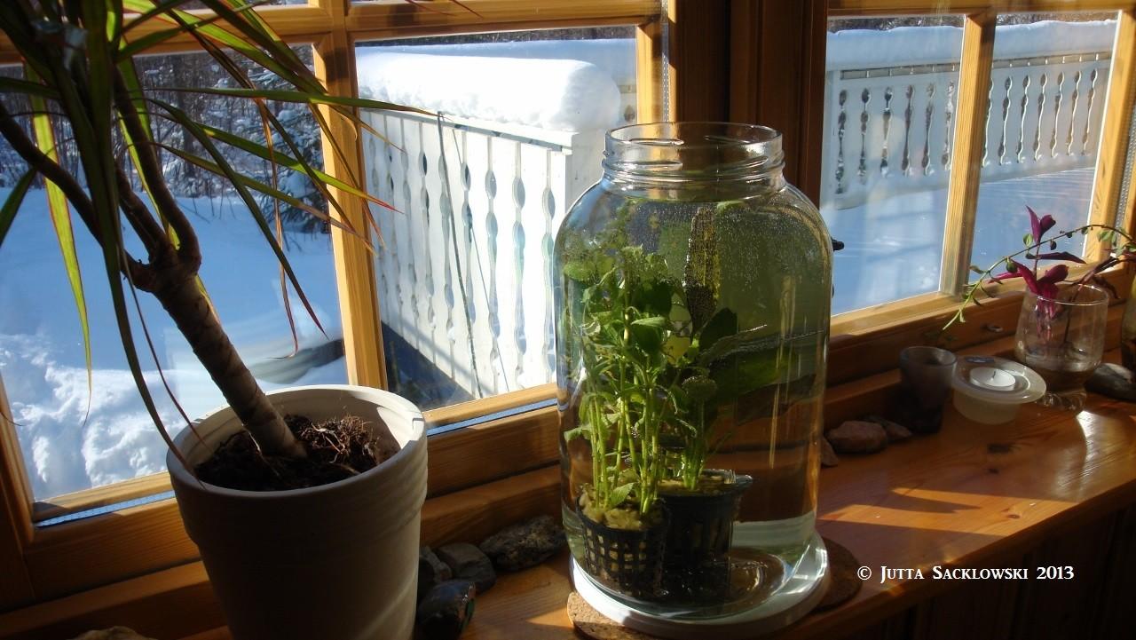Pflanzenwässerung im Gurkenglas