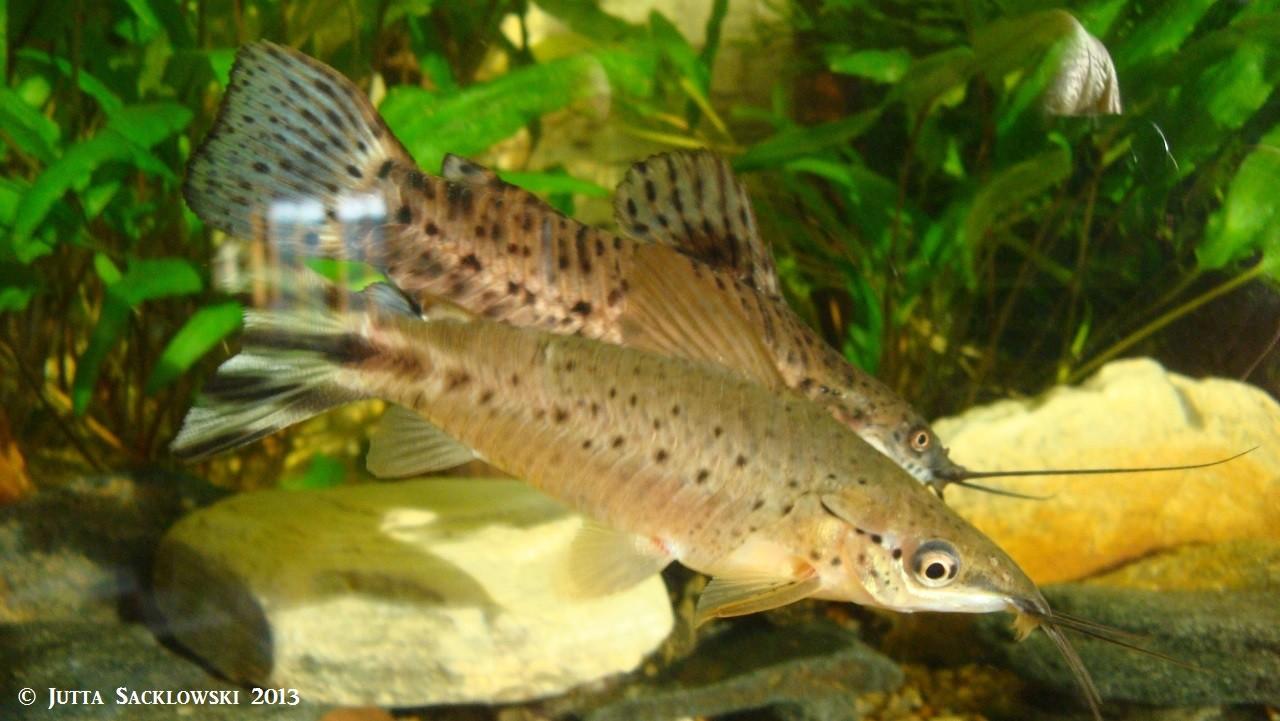 Schwanzstreifenschwielenwels (Vordergrund) + gemalter Schwielenwels (hinterer Fisch)