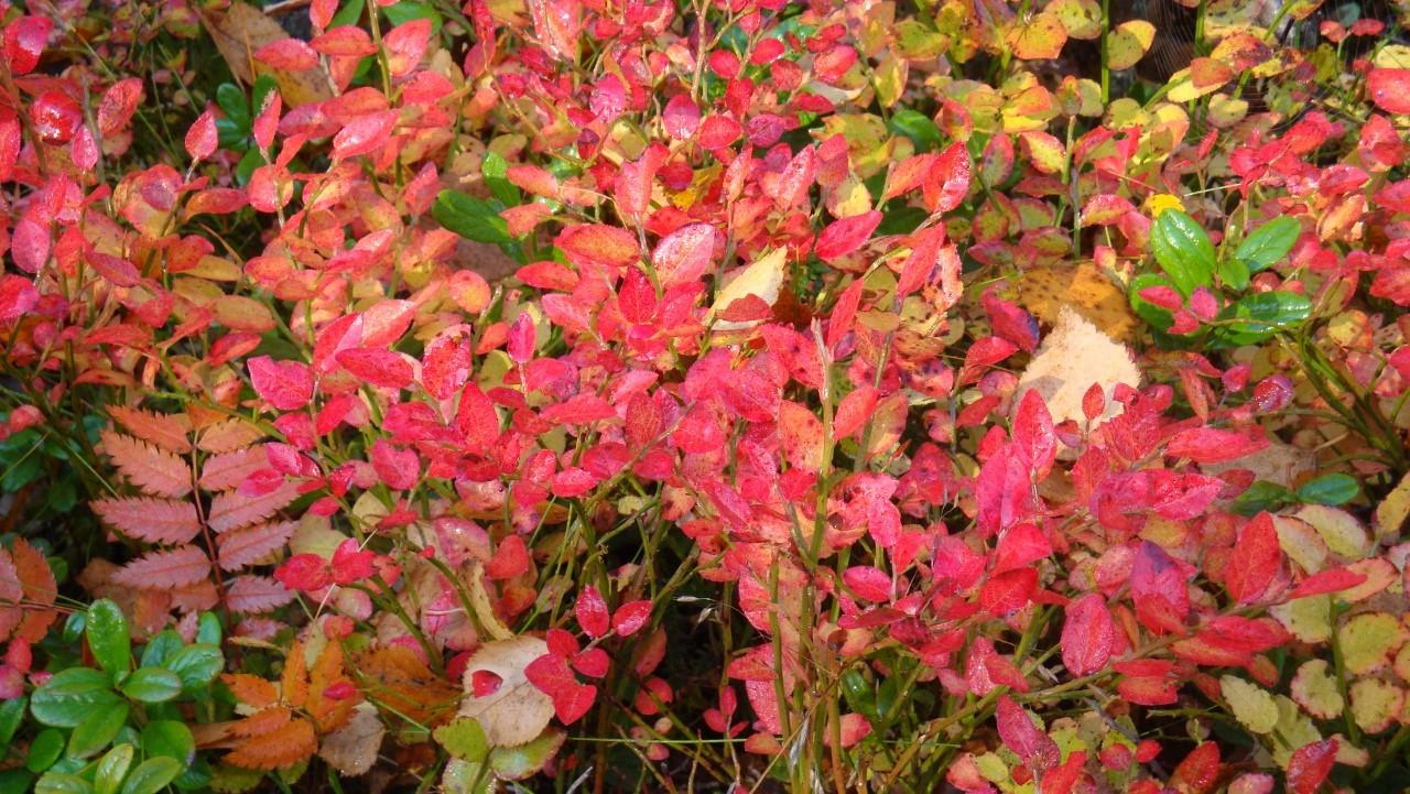 Blaubeersträucher im Herbstkleid