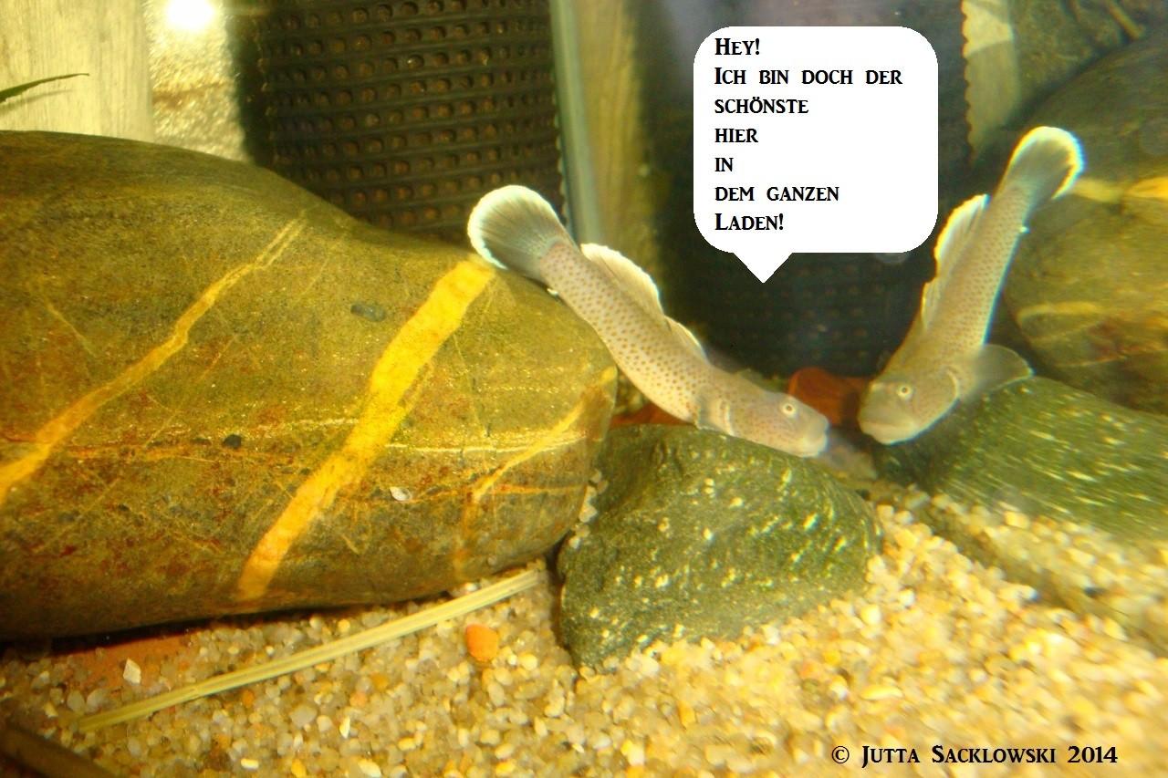 Aquarium neuigkeiten elghaugen urlaub machen und for Shubunkin vermehrung
