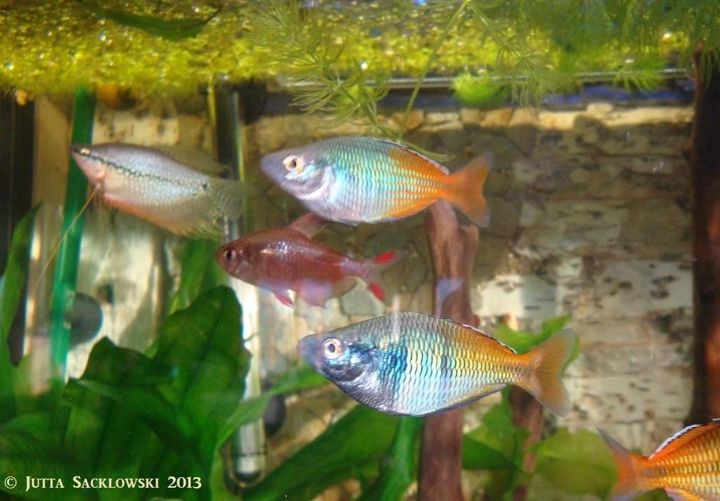 Boesemans Regenbogenfisch mit Schmucksalmler und Mosaikfadenfisch