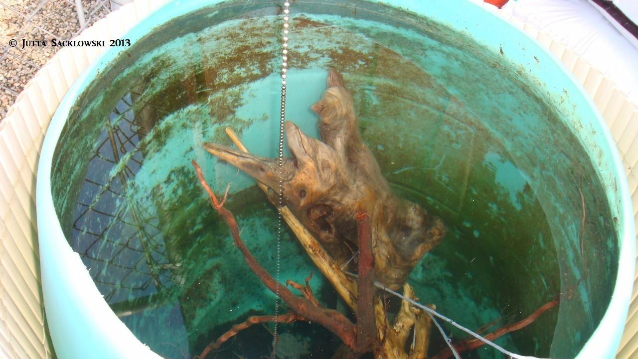 Wurzeln fürs AQ wässern in der Regentonne