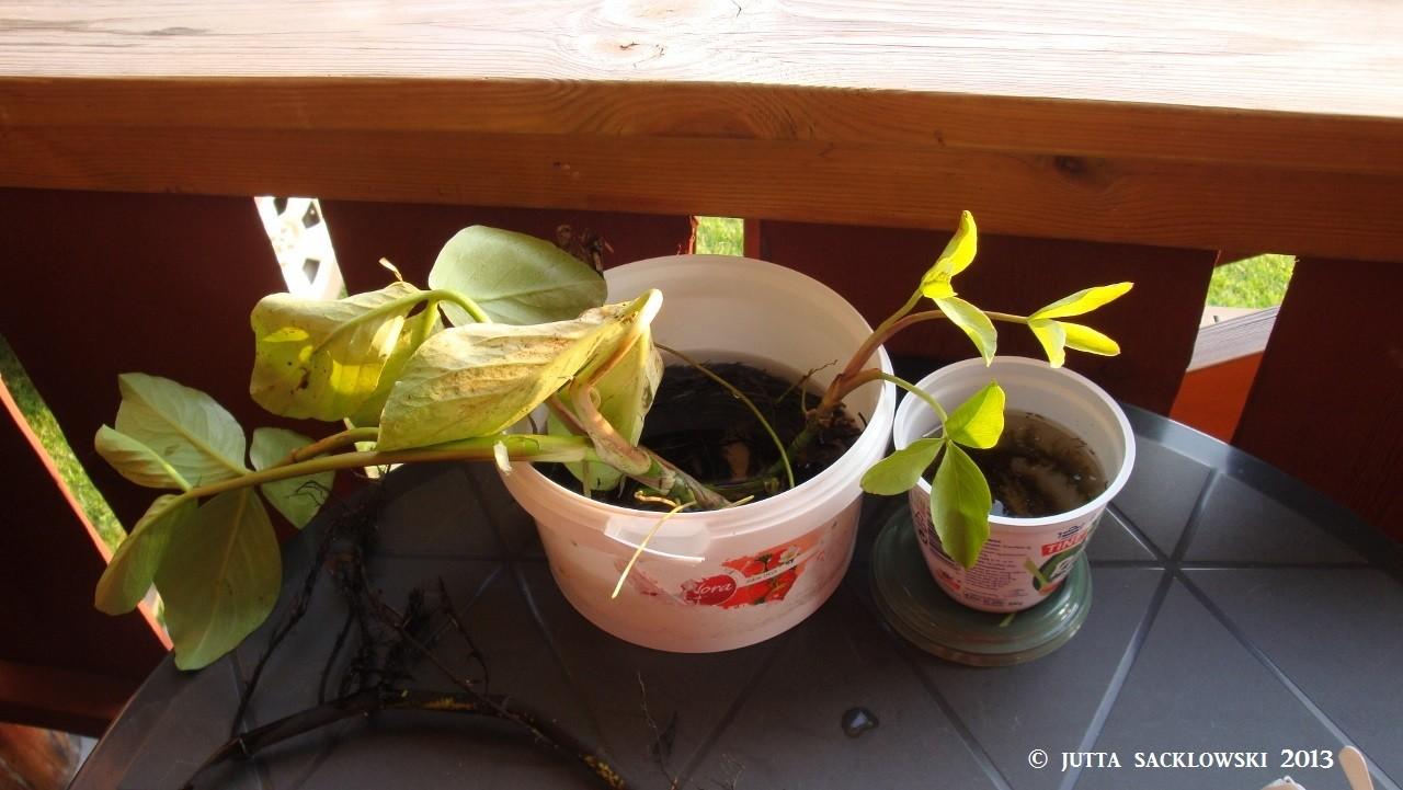 Pflanzen für unseren Terassenteich