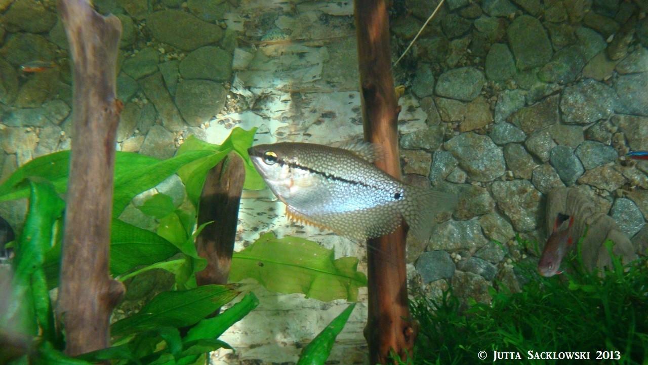Mosaikfadenfisch-Weibchen