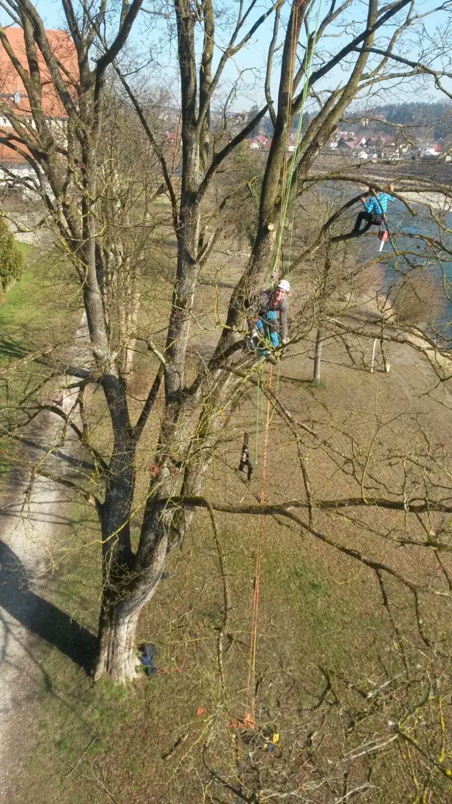 Totholzbeseitigung an einem Ahorn  ( Laufen )