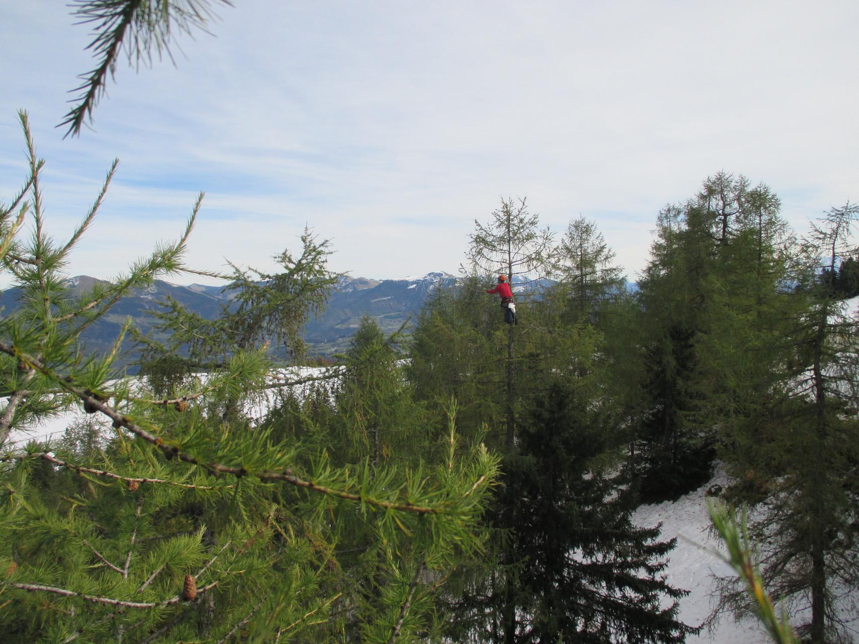 Zapfenpflücken am Rossfeld bei Berchtesgaden