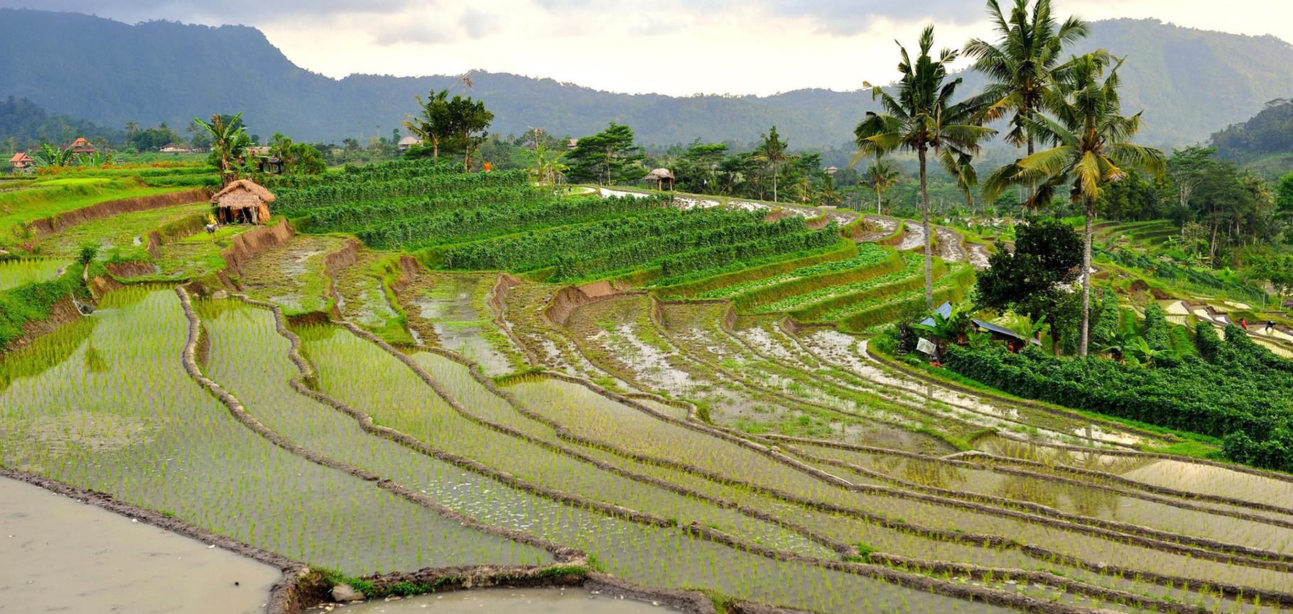 rizières en espalier