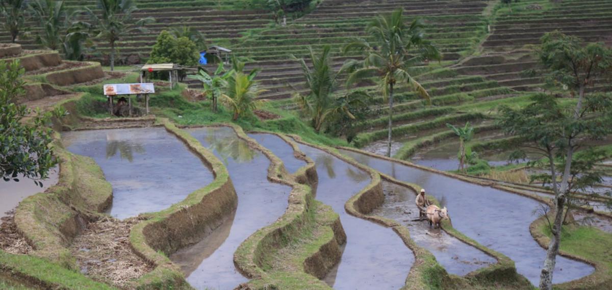 rizières près de la Maison du Bonheur