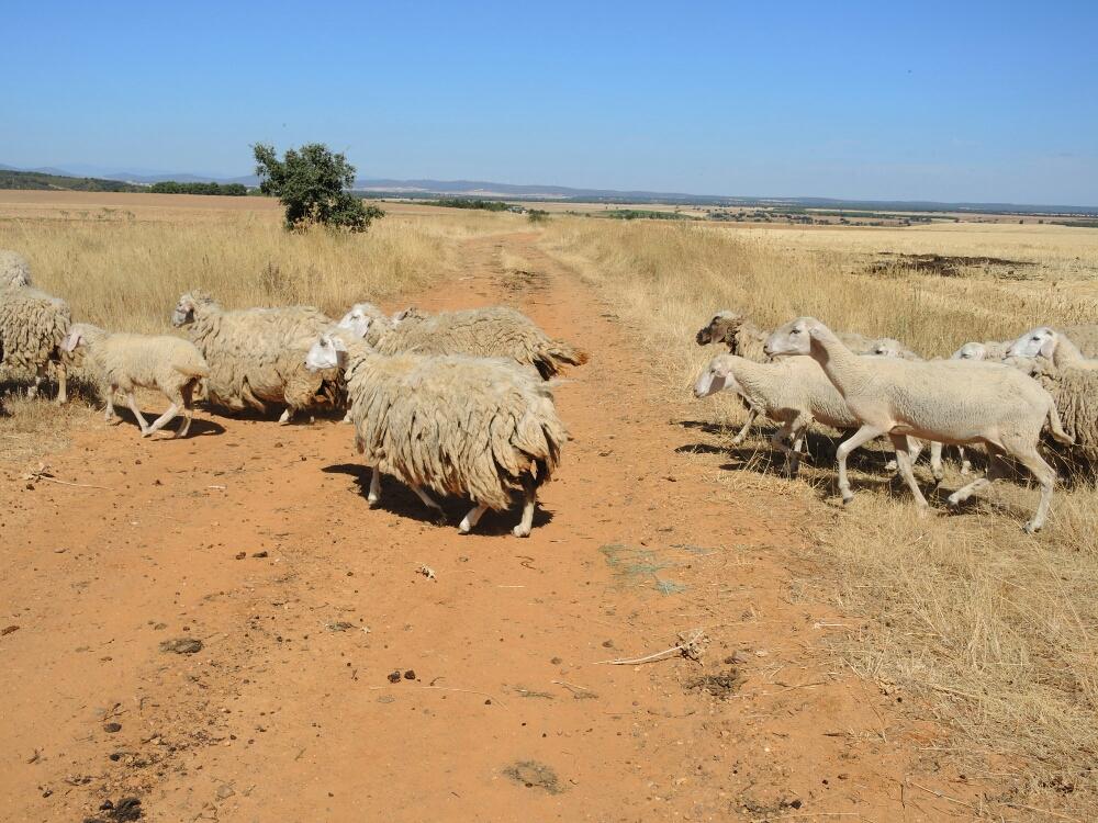 Plötzlich kreuzen die Schafe den Weg. Manche tragen schon Winterpelz