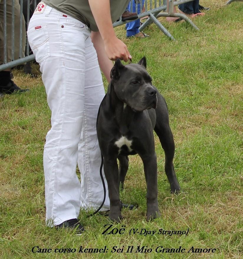 Zoë 1. Best puppy female in show! (belgian cane corso days)