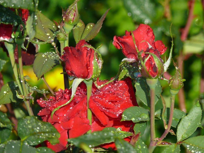 Dans les jardins familiaux - roses