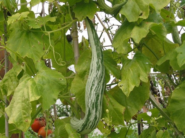 Courge serpent