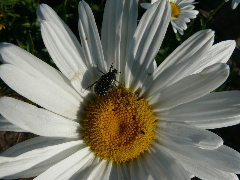 Dans les jardins familiaux - coléoptère butinant
