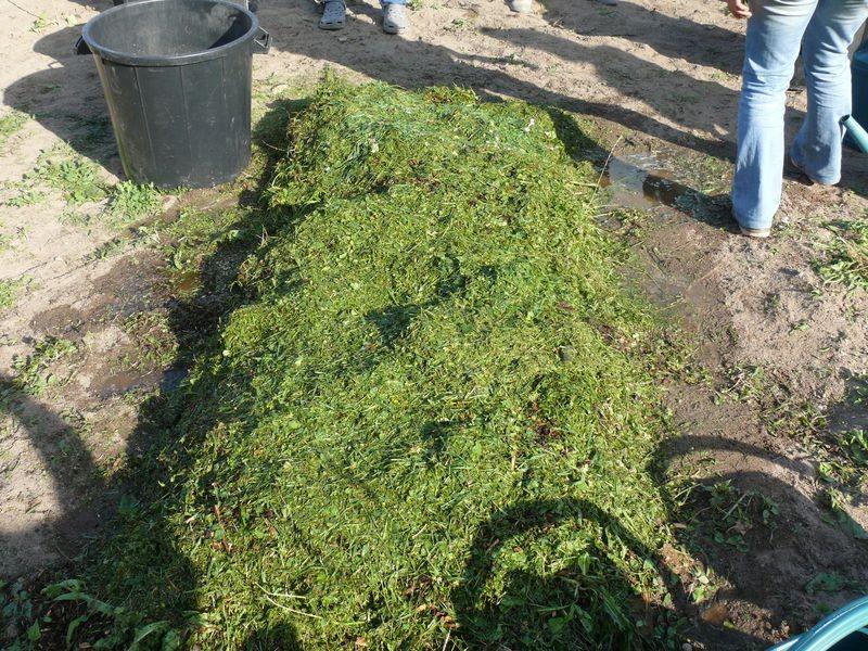 Culture en lasagnes : 8ème couche gazon ou herbes broyées
