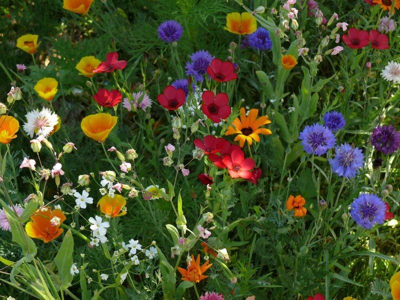 Dans les jardins familiaux - jachère fleurie