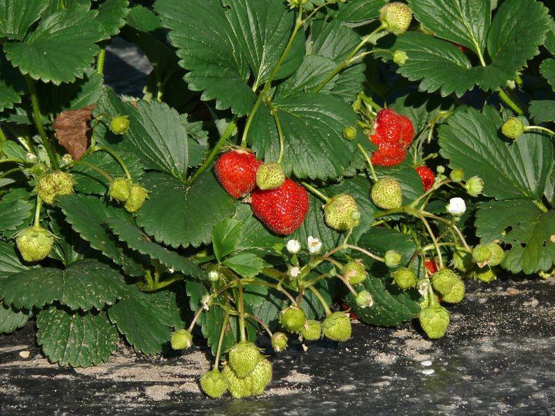 Dans les jardins familiaux - fraises
