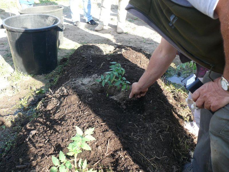 Culture en lasagnes : planter tomates, chous, courges...