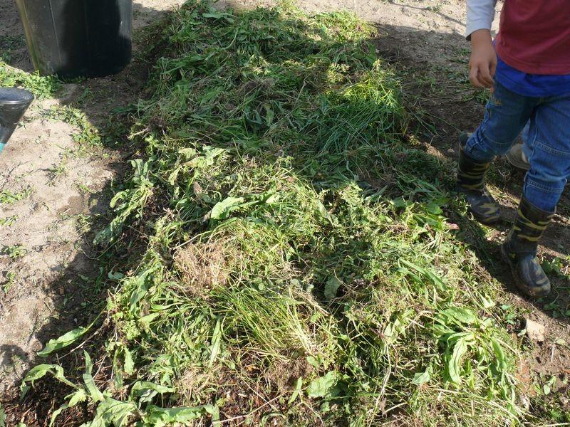Culture en lasagnes : 4ème couche, herbes diverses ou gazon