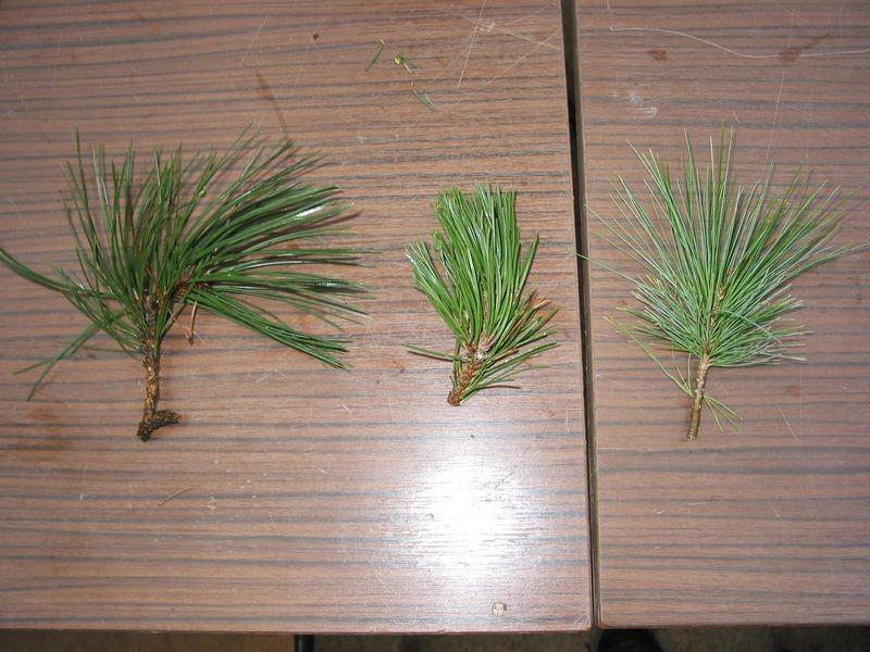 pin de l'himalaya 5 aiguilles pin sylvestre