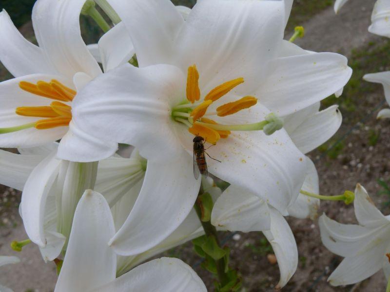 sphyre a ceinture ou episyrphus balteatus sur Lys