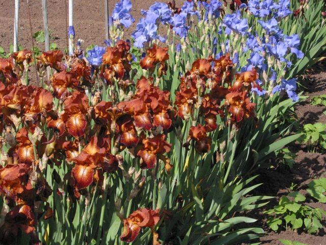 Iris variés