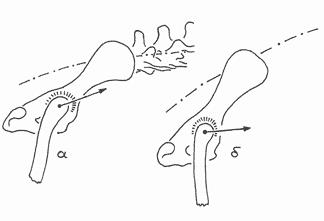 Рис.11. Направление движения тазобедренного сустава в пропульсивной фазе бега рысью; а - нормальное, б - аномальное, характерное для немецких овчарок, разводимых для выставочного показа