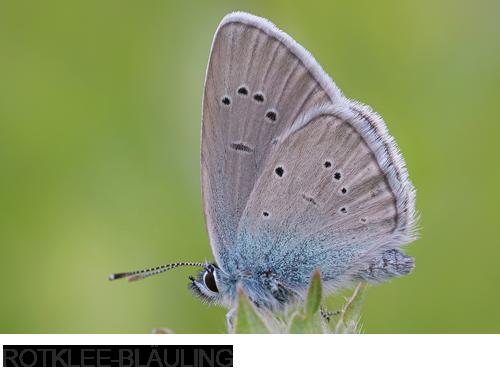 Rotklee-Bläuling, Bilder, Fotos, Schmetterlinge