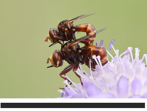 Gemeine Breitstirnblasenkopffliege Bilder, Fotos, Heuschrecken, Fliegen und andere Insekten
