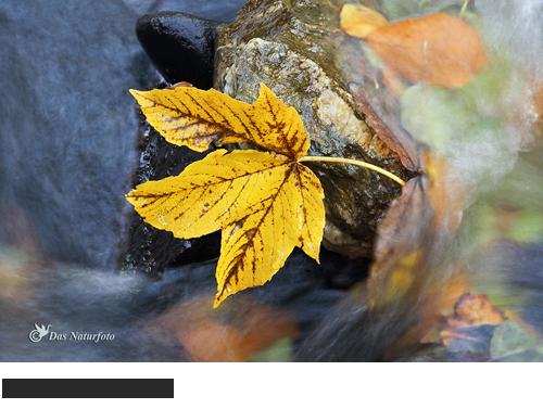 Berg-Ahorn Bilder, Fotos, Wald, Bäume, Ahorne, Seifenbaum