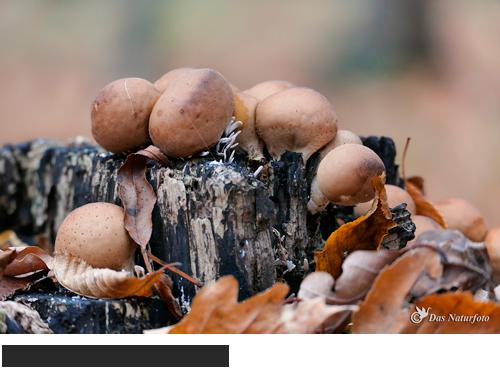 Birnen-Stäubling Bilder, Fotos, Pilze