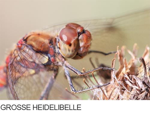 Grosse Heidelibelle Bilder, Fotos, Libelle