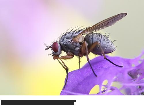 Fliegen unbestimmt, Bilder Fotos, Brachycera indet., Phaonia indet., Insekten, Heuschrecken