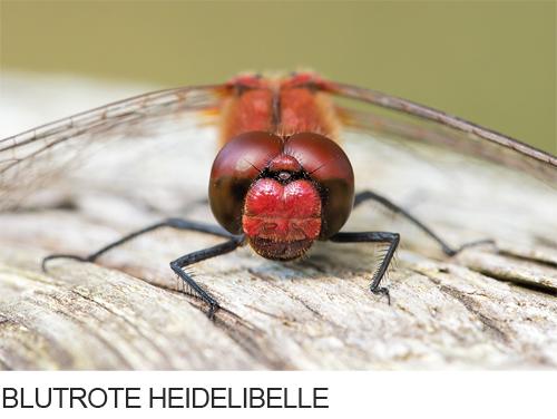 Blutrote Heidelibelle Bilder, Fotos, Libelle