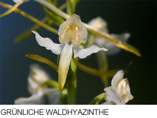 Grünliche Waldhyazinthe, Bilder, Fotos, Orchidee