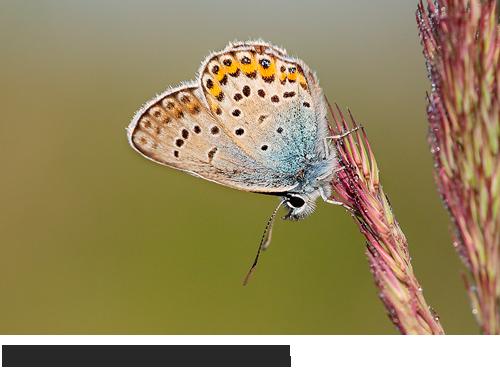 Silberfleckbläuling Bilder, Fotos, Schmetterling