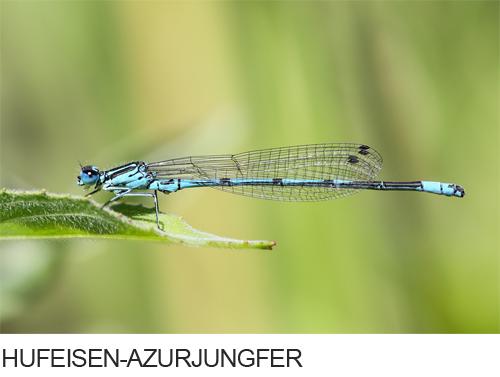 Hufeisen-Azurjungfer Bilder, Fotos, Libelle
