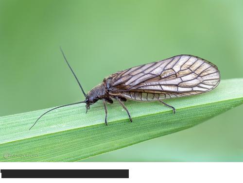 Wasserflorfliegen, Bilder, Fotos, Insekten, Fliegen, Schlammfliegen
