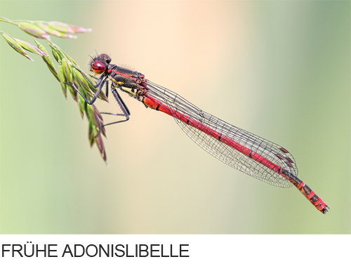 Frühe Adonislibelle Bilder, Fotos, Libelle